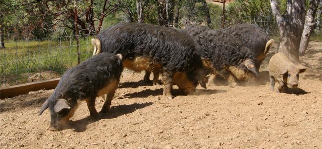 Mangalitsa-Pigs
