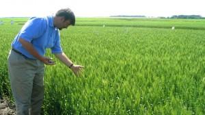 monsanto-wheat-investigation-sabotage.si