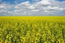 canola-crop.si