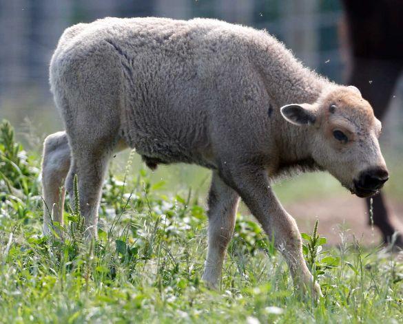 Hundreds celebrate rare white bison at Conn. farm