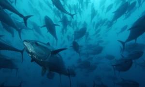 Bluefin-tuna-Spain-001