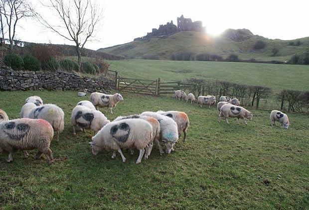 sheep-620a_1656603a